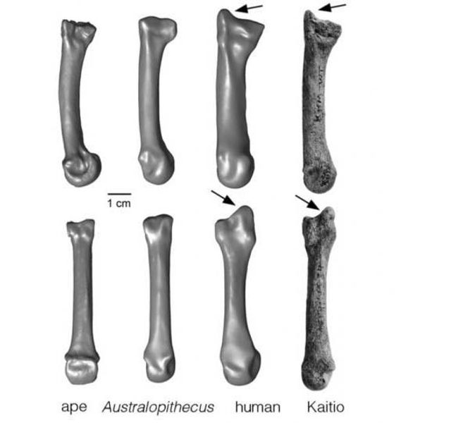 New Fossil Discovery Sheds Light On The Evolution Of The Human Hand