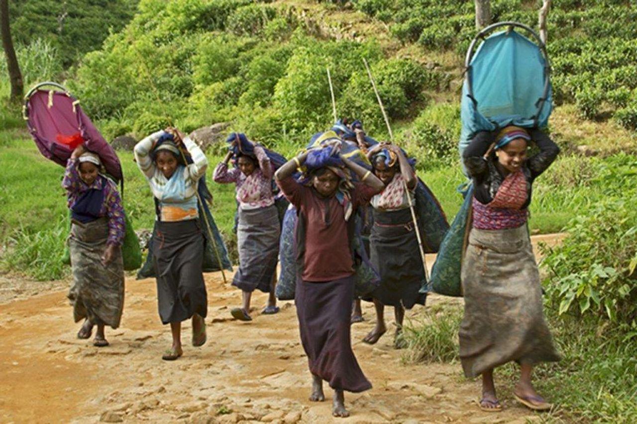 Tea plantation workers need a global strategy - World Socialist Web Site